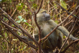 Primate monkey in Africa Reprodukcja zdjęcia autor Yara Gomez-Sugg