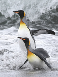 King Penguin pair in South Georgia Islands Photographic Print by Hal and Kirsten Snyder