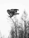 Great Grey Owl in Minnesota in Black and White Reprodukcja zdjęcia autor Analiese Miller