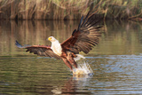 Eagle flying in Botswana Photographic Print by Kandace Heimer