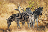 Zebras in South Africa Photographic Print by Al Riutort