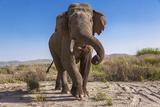 Asian Elephant in India Photographic Print by Subrat Kumar Seet