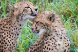 Wild cats Cheetahs cleaning in South Africa Photographic Print by Thomas Henskens