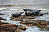 Seals in Scotland Photographic Print by Diann Stewart