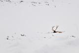 Elk in snow in Wyoming Photographic Print by Roy Nierdieck