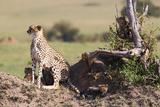 Wild cat Cheetah in Kenya Photographic Print by Marian Herz