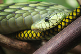 Green snake in Jacksonville Zoo in Florida Photographic Print by Elise Valla