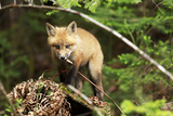 Red Fox in Canada Photographic Print by Christopher MacDonald