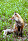 Red Fox in Montana Photographic Print by Angie Savage
