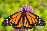 Monarch butterfly wings spread in Indiana.jpg Photographic Print by Mark Brinegar
