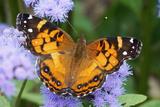 Butterfly on purple flowers in Connecticut Fotografie-Druck von Virginia Chase