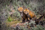 Red Fox pair in Utah Photographic Print by Mavourneen Strozewski