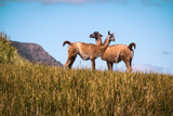Guanacos in Argentina Photographic Print by Maribeth Lundeen