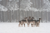 Deer in snow in Hungary Photographic Print by Adam Horvath