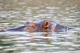 Hippopotamus in Uganda Photographic Print by Laura Lorman