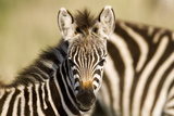 Zebras in Tanzania Photographic Print by Sharon Ely
