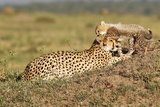 Wild cats Cheetah cub with mother in Kenya Photographic Print by Marian Herz