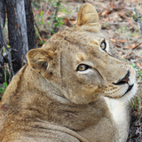 Wild cat lioness resting in South Africa Fotografisk tryk af Nancy Andreotta