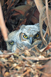 Great Horned Owl pair in nest in California Photographic Print by Thomas Muehleisen
