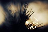 Pine Needles at Sunset Fotografisk trykk av Ursula Abresch