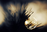 Pine Needles at Sunset Photographic Print by Ursula Abresch
