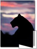 Wild cat lioness silhouette in Botswana Prints by Beth Stewart