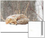 Red Fox sleeping in snow in Maryland Print by Brenda Johnson