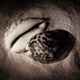 Cowrie Giclee Print by Laurel Wade