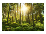 Sunlight in the Green Forest Poster