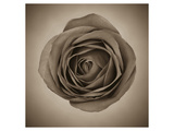 Close-Up of Sepia Rose Prints