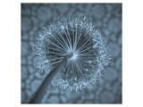 Allium Garlic Flower Close-Up Wydruk giclee premium