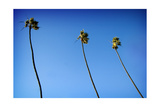 3 Palms Photographic Print by John Gusky