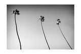 3 Palms Bw Fotografie-Druck von John Gusky
