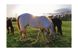 Horses Grazing in a Field, Tewksbury, New Jersey Photographic Print by George Oze