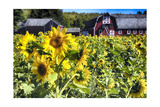 Sunflowers Field With a Red Barn, New Jersey Photographic Print by George Oze
