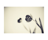 Tulips Photographic Print by Elena Ray