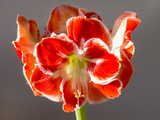 Amaryllis Red Photographic Print by Charles Bowman