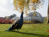 Kew Peacock Photographic Print by Charles Bowman