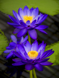 Waterlily Purple Photographic Print by Charles Bowman