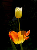 Orange And White Tulips Photographic Print by Charles Bowman