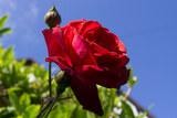 Rose Red 3 Photographic Print by Charles Bowman