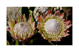 King Protea National Flower Of South Africa Photographic Print by Charles Bowman