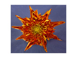 Chrysanthemum Explosion Photographic Print by Charles Bowman