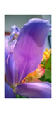 Iris Photographic Print by Charles Bowman