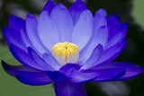 Waterlily Blue Photographic Print by Charles Bowman