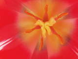 Inner Heart Of Red Tulip Photographic Print by Charles Bowman