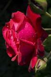 Rose Red 2 Photographic Print by Charles Bowman