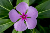 Periwinkle Photographic Print by Charles Bowman