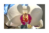 Orchid White Photographic Print by Charles Bowman