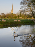 Swan In Front Of Salisbury Cathedral Photographic Print by Charles Bowman